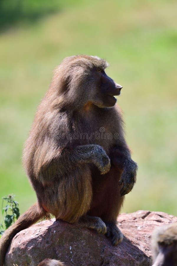 Hamadryas狒狒狒狒hamadryas 图库摄影