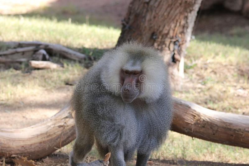 Hamadryas狒狒狒狒hamadryas 2 库存照片