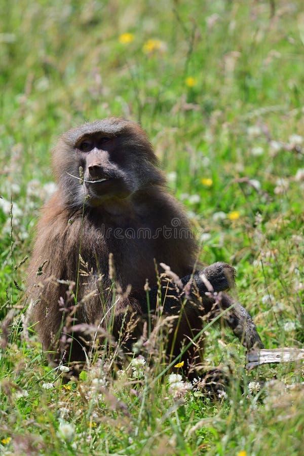 Hamadryas狒狒狒狒hamadryas 免版税库存图片