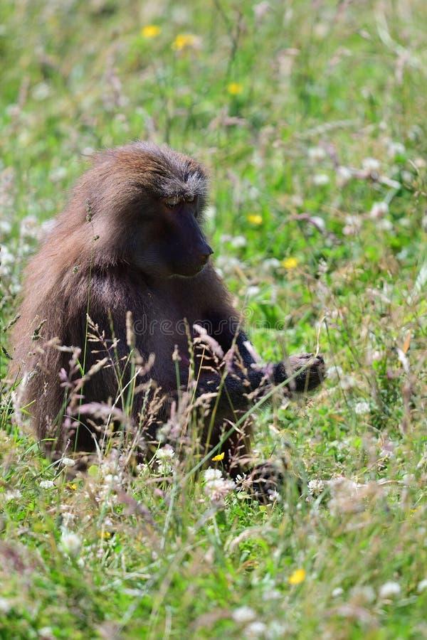 Hamadryas狒狒狒狒hamadryas 库存图片