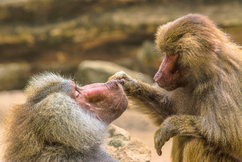 Hamadryas狒狒(狒狒hamadryas) 免版税库存图片