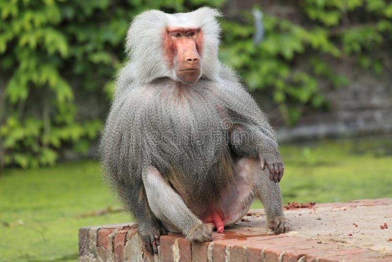 Hamadryas baboon. The male hamadryas baboon sittin on the wall stock photos