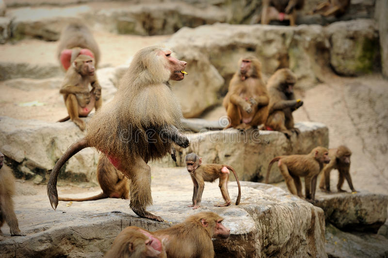 Download Hamadryas baboon stock image. Image of macho, adult, park - 25840557