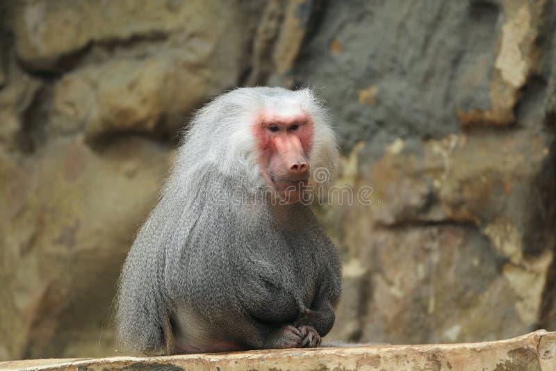 Download Hamadryas baboon stock photo. Image of baboon, mammal - 28746256
