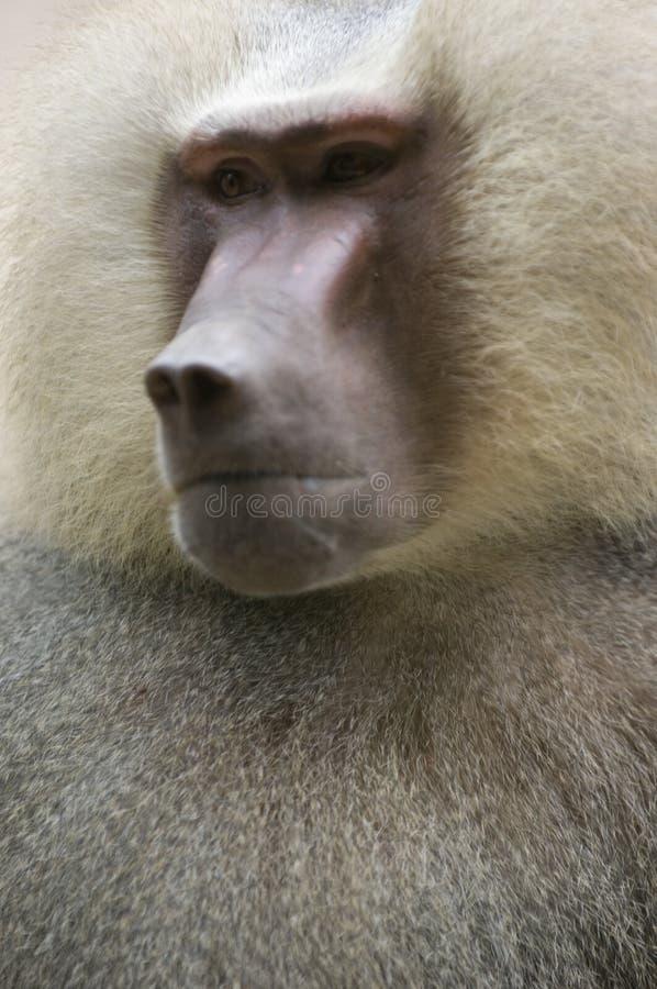 Download Hamadryas Baboon 3 stock photo. Image of hairy, hamadryas - 197702