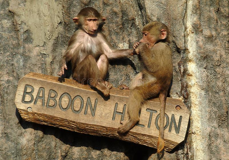Hamadryas Baboon babies at a Zoo in Sweden royalty free stock images