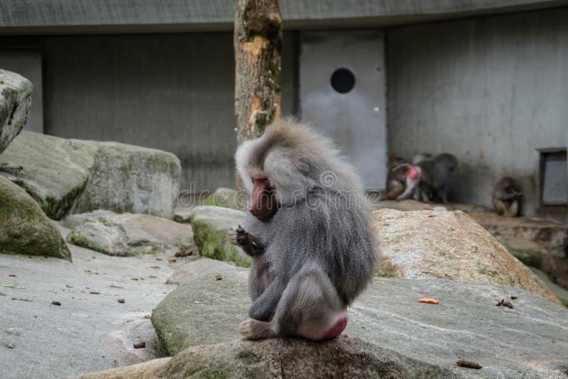 Hamadryas baboon monkey royalty free stock photo