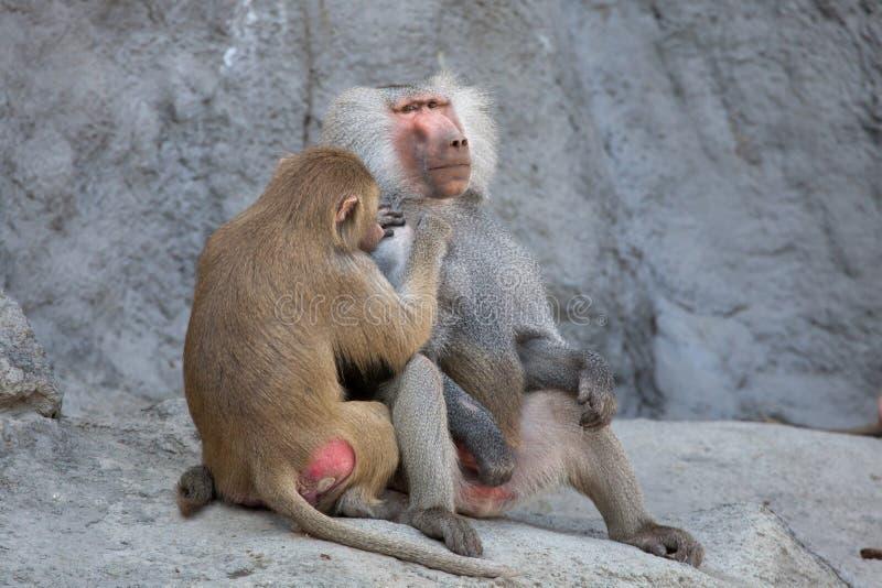 Hamadryas baboon Papio hamadryas. Wild life animal royalty free stock photography