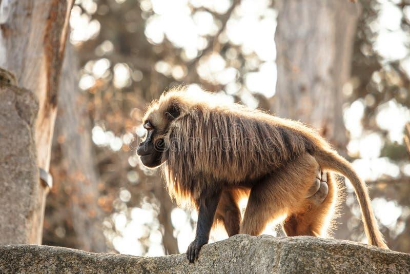 Hamadryas Baboon Papio hamadryas pavian close up portrait in the zoo stock image
