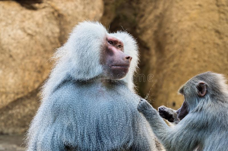 The hamadryas baboon, Papio hamadryas is a species of baboon royalty free stock photos