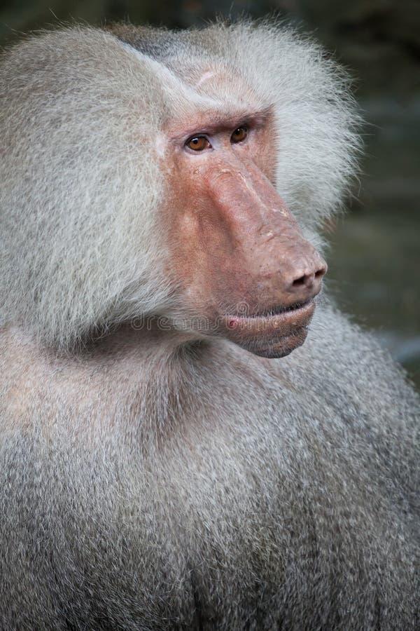 Hamadryas baboon. Baboon portrait close up, a male stock photos