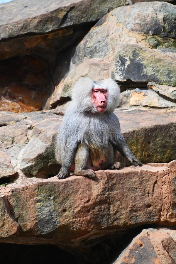 A hamadryas baboon sitting on a rock royalty free stock images