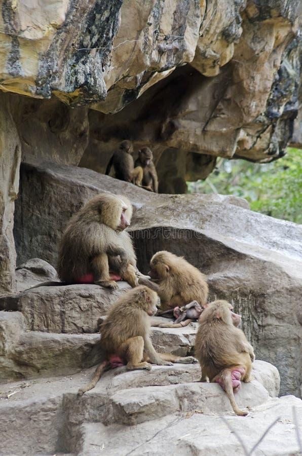 Hamadryas Baboon. A whole family of red-bottom, Hamadryas Baboons royalty free stock photo