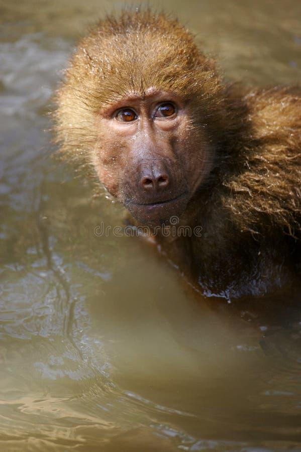 Free Hamadryas Baboons Stock Photography - 3599882