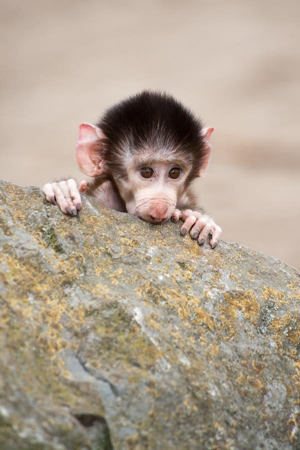 hamadryas mignons de chéri de babouin image stock
