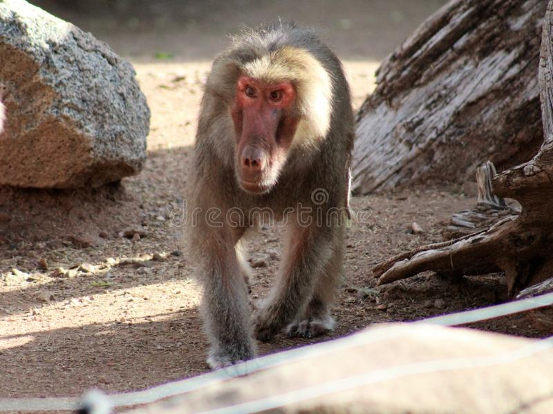 Hamadryas-Pavian am Phoenix-Zoo in Phoenix, Arizona, Vereinigte Staaten stockfotografie