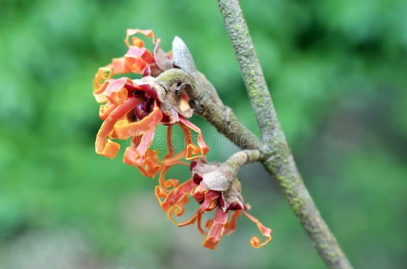Hamamélis en fleur photo libre de droits