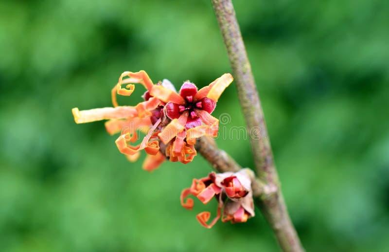 Hamamélis en fleur photographie stock