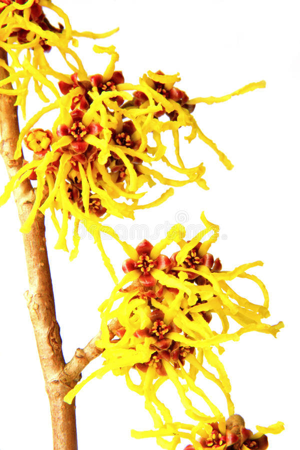 Hamamelis obrazy stock