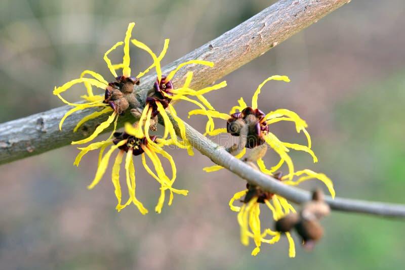 Hamamelis in fioritura immagini stock