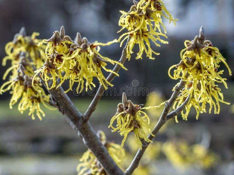 Hamamelis intermedia, czarownicy leszczyna zdjęcie royalty free