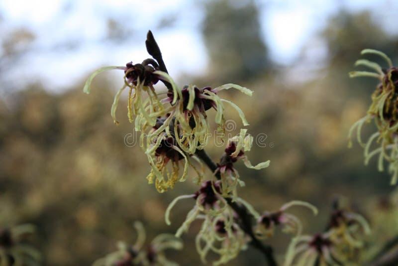 hamamelis lub czarownicy leszczyny kwiecenie w wczesnej wiośnie fotografia royalty free