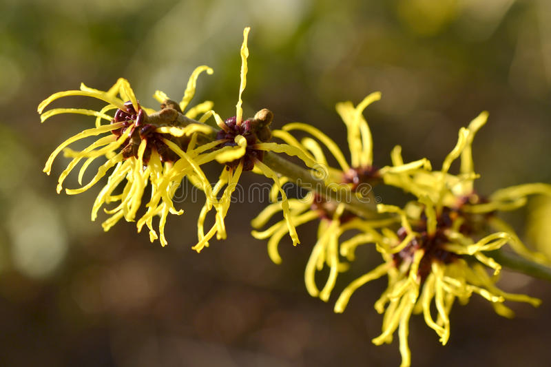 Download Hamamelis or witch-hazel. stock photo. Image of flora - 36699248
