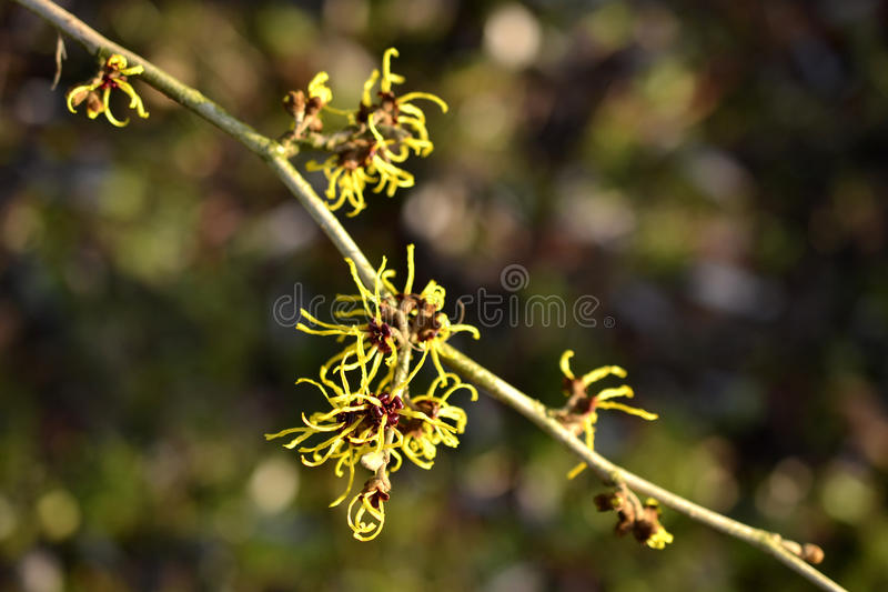Download Hamamelis Or Witch-hazel. Royalty Free Stock Photos - Image: 36699318