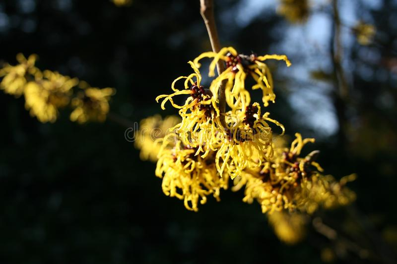 hamamelis or witch hazel flowering in early spring royalty free stock photo