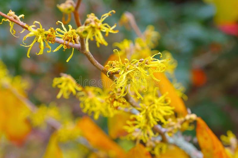 Hamamelisvirginianaen blommar i nedgång arkivfoto