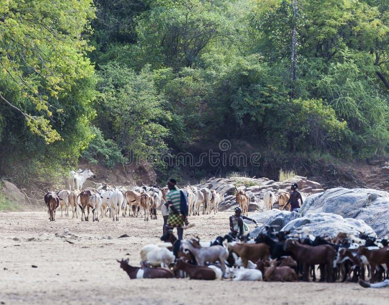 Hamar führt mit ihrer Herde in einem trockenen Flussbett lizenzfreie stockbilder