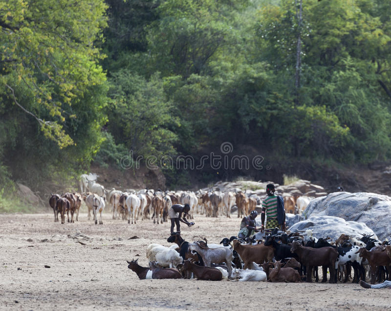 Hamar shepherds with their herd in a dry river bed. Omo Valley, Ethiopia. royalty free stock photography