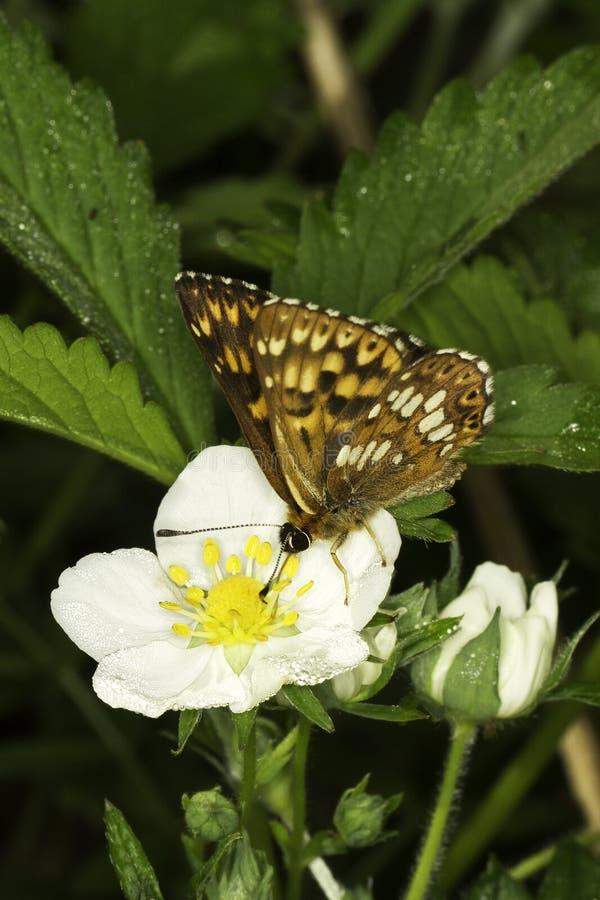 Hamearis lucina diuk Burgundy motyl/ obrazy royalty free