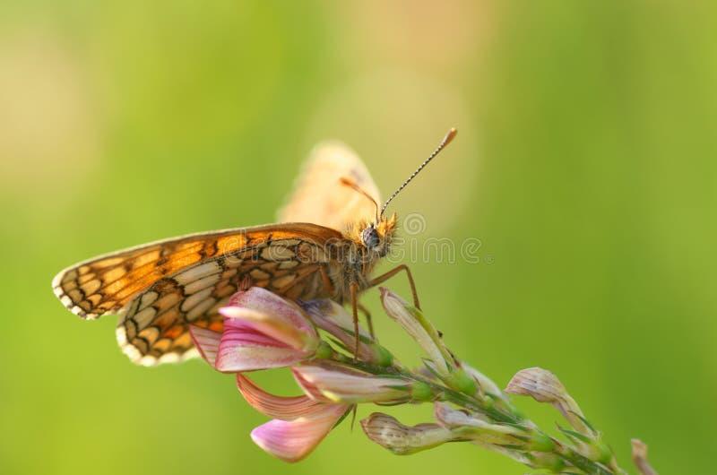 Hamearis lucina - motyl zdjęcia royalty free