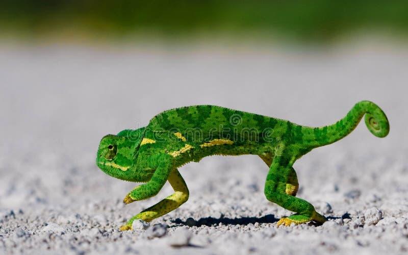 Download Hameleon стоковое изображение. изображение насчитывающей листья - 18397399