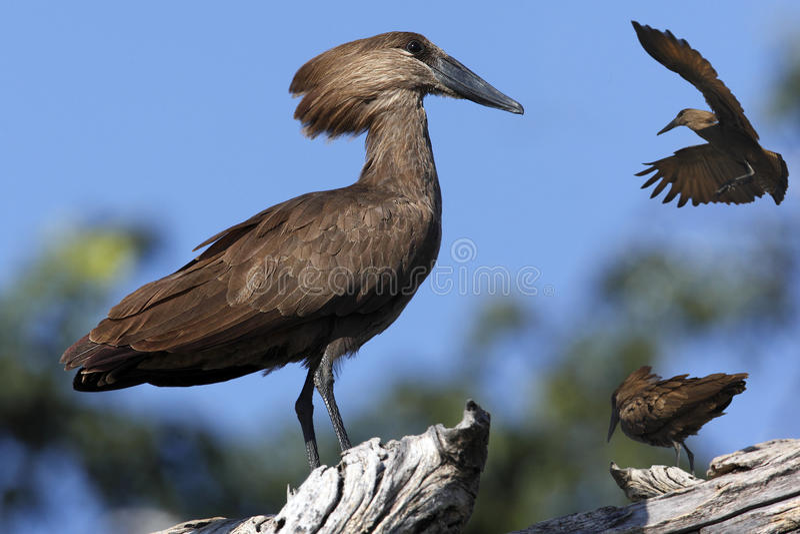 Hamerkop - il Botswana immagine stock