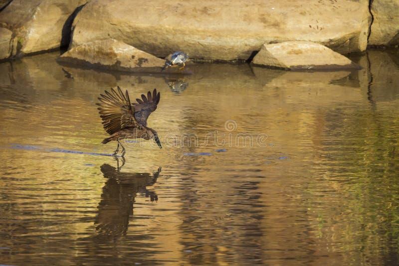 Hamerkop in Nationalpark Kruger, Süd-Afric stockfotografie