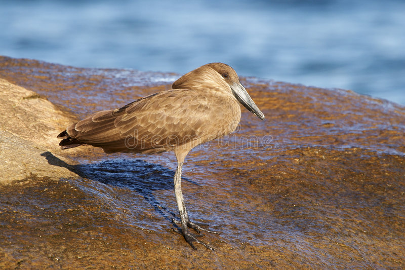 Download Hamerkop on a rock stock photo. Image of bird, feathers - 4544286