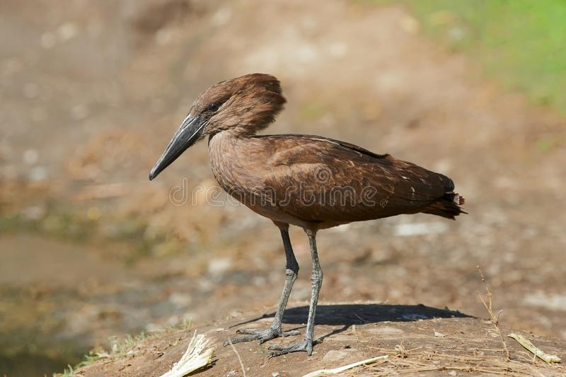 Hamerkop Scopus umbretta 免版税库存图片