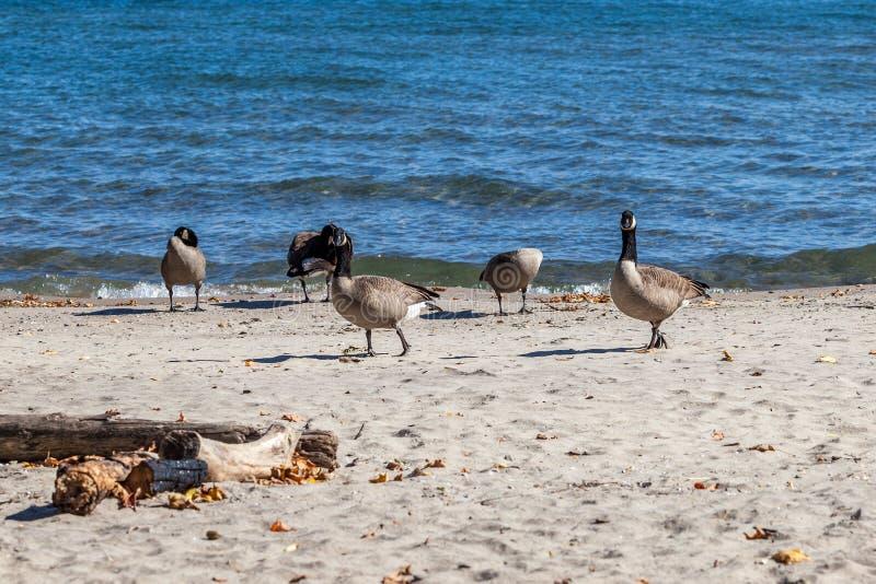 Hamilton, CANADA - October 16, 2018: geese enjoy the last days o. F colorful sunny autumn along Lake royalty free stock images
