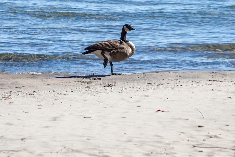 Hamilton, CANADA - October 16, 2018: geese enjoy the last days o. F colorful sunny autumn along Lake stock photography