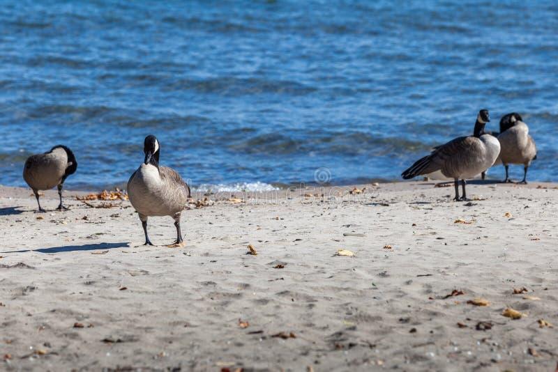 Hamilton, CANADA - October 16, 2018: geese enjoy the last days o. F colorful sunny autumn along Lake stock photo