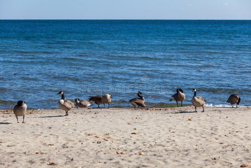 Hamilton, CANADA - October 16, 2018: geese enjoy the last days o. F colorful sunny autumn along Lake royalty free stock photo