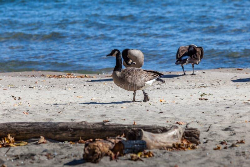 Hamilton, CANADA - October 16, 2018: geese enjoy the last days o. F colorful sunny autumn along Lake royalty free stock image