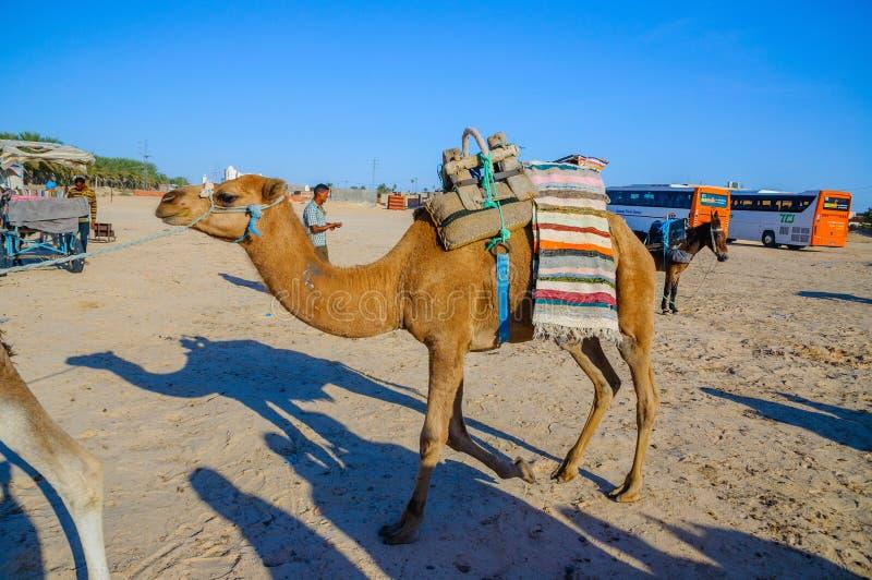HAMMAMET TUNISIEN - Oktober 2014: Dromedarkamel i den sahara öknen på Oktober 7, 2014 arkivbild