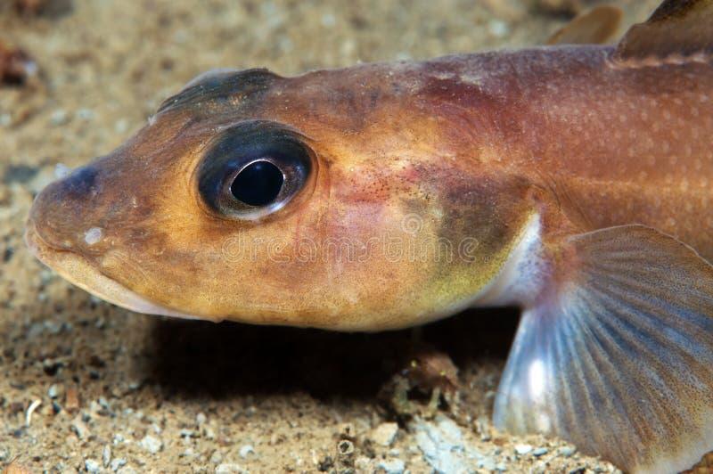 Hammelfleischfisch stockfotos