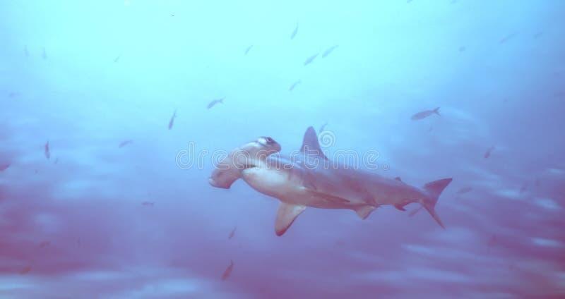 Hammerhai lizenzfreie stockbilder