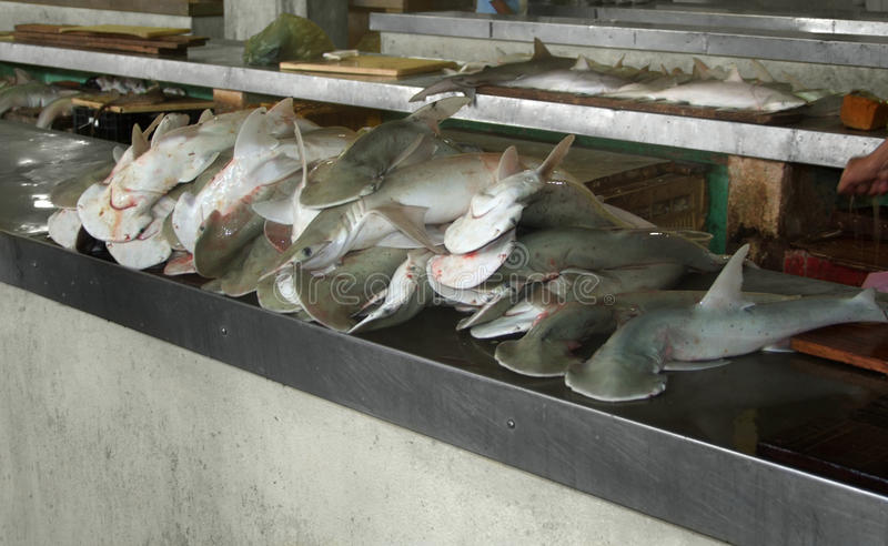 Hammerhaie lizenzfreies stockbild