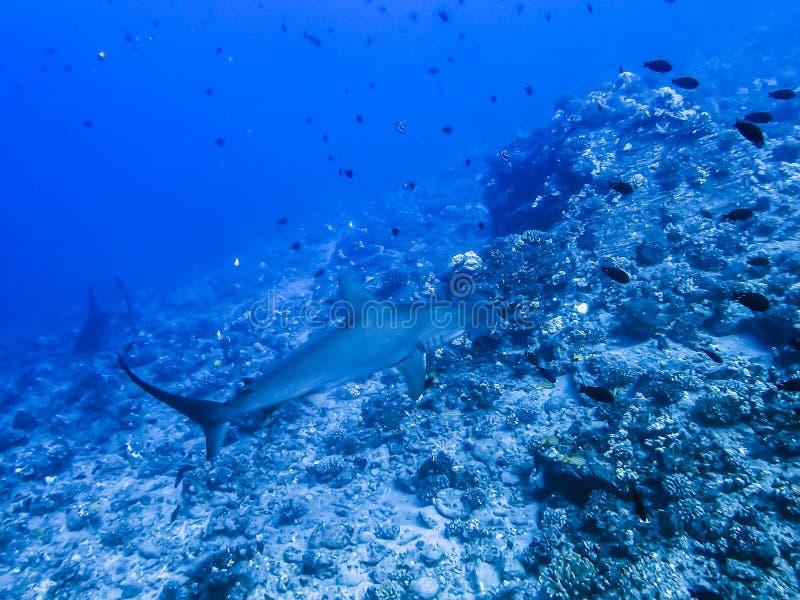Hammerhaie-Schwimmen über Riff stockfoto