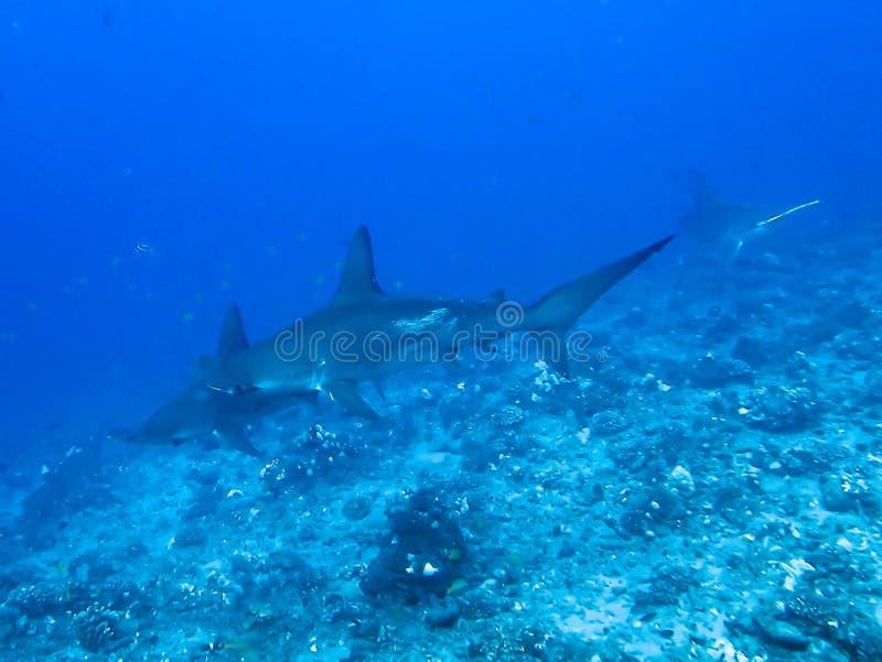 Hammerhaie-Schwimmen über Riff stockfotos